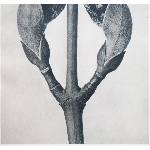 Tan 1935 Karl Blossfeldt Photogravure For Sale - Image 8 of 12