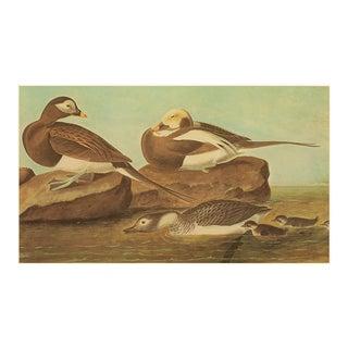 Long-Tailed Ducks by John J. Audubon, XL Vintage Cottage Print For Sale