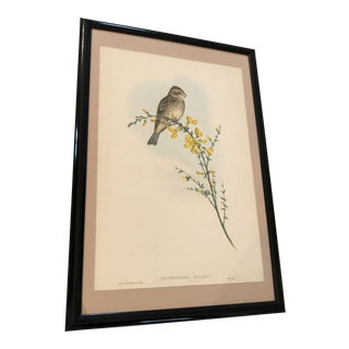 "Mid 19th Century Antique Gould's ""The Birds of Great Britain"" Crithophaga Miliaria (Common Bunting) Print For Sale"