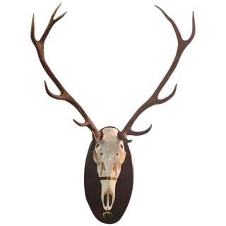 Mule Deer Horns and Skull For Sale