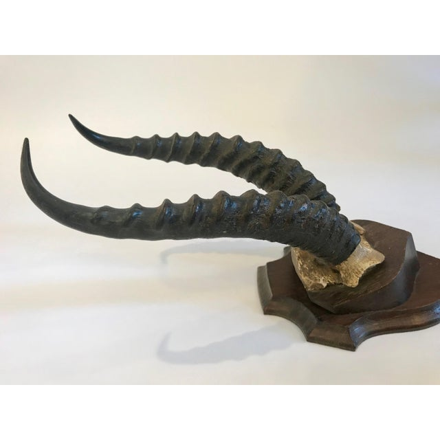 Wood Antelope Antlers Mounted on a Double Plaque With Oak Shield Back For Sale - Image 7 of 13