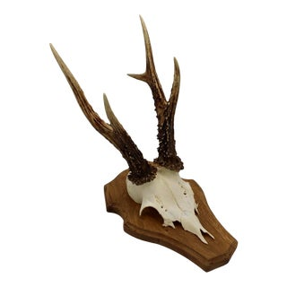 Black Forest Roe Deer Antlers on Beveled Wood Plaque For Sale