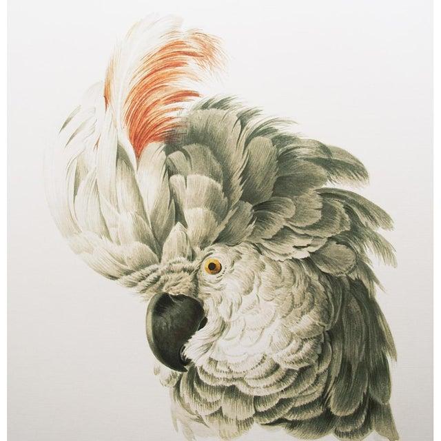 1750s Aert Schouman Cockatoo Head Study Large Print
