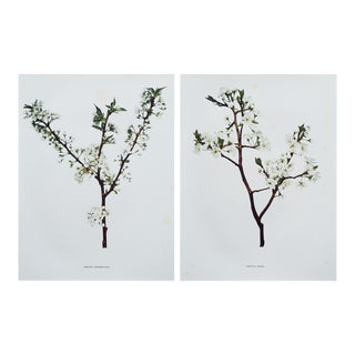 1900s Original Botanical Photogravures - A Pair