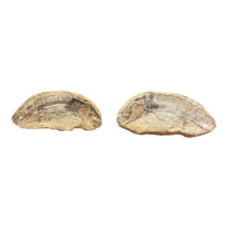 Fish Fossils in Rocks- a Pair For Sale