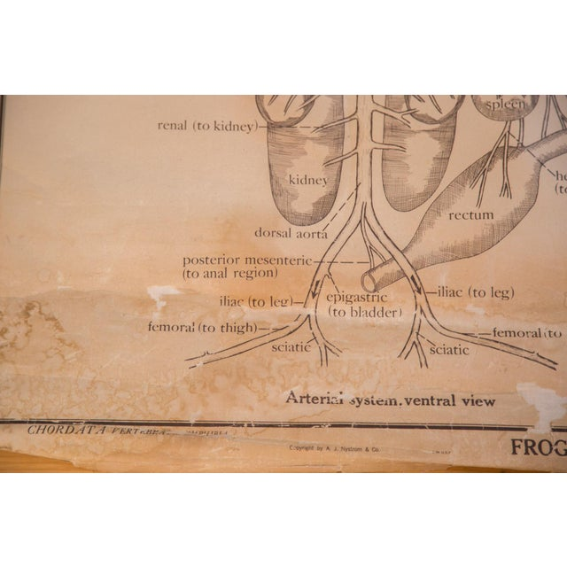 Pull Down Chart of Frog Circulatory System - Image 7 of 7