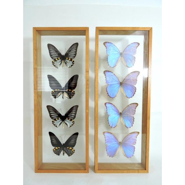 Blue Blue Morpho's & Ulysses Box Framed Butterflies Wall Panel Hangings - Set of 3 For Sale - Image 8 of 13