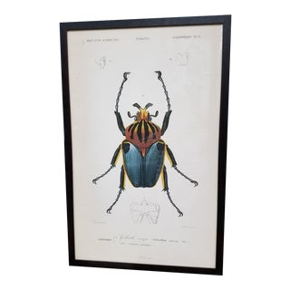 "Vintage Colored French Beetle Print ""Goliath Cacique"" in Black Frame"