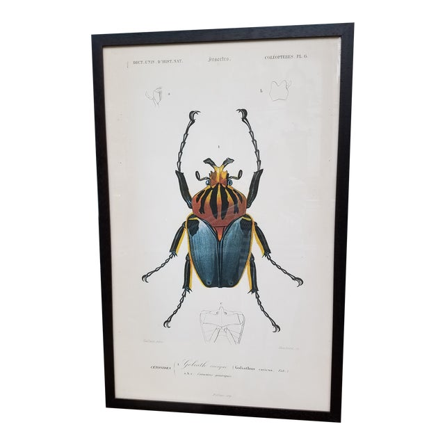 "Vintage Colored French Beetle Print ""Goliath Cacique"" in Black Frame For Sale"