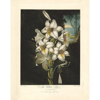 Thornton Pl. 20, the White Lily Print For Sale