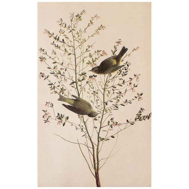 A lovely large vintage reproduction of the original lithographic print of Orange-Crowned Warbler by John James Audubon...