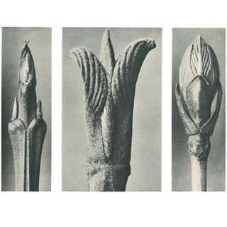 1928 Contemporary Original Photogravure N10 by Karl Blossfeldt For Sale