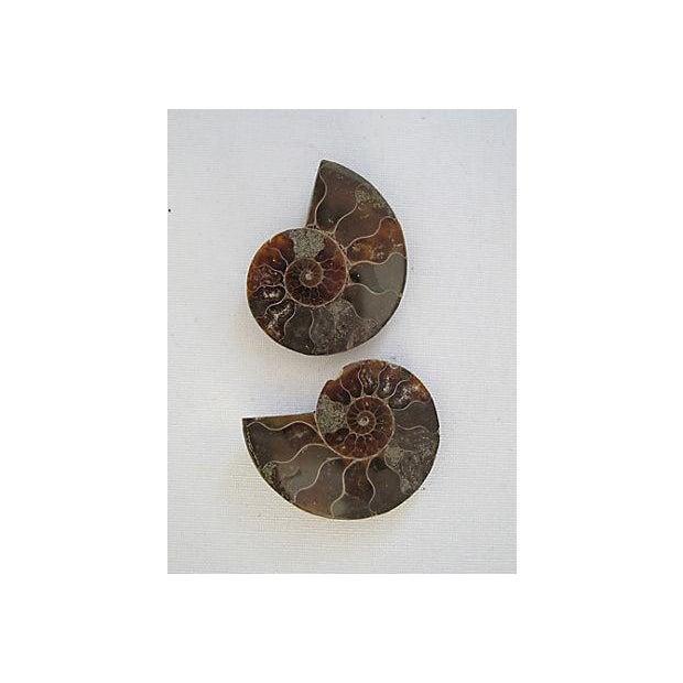 Ammonite Objets - Pair - Image 4 of 4