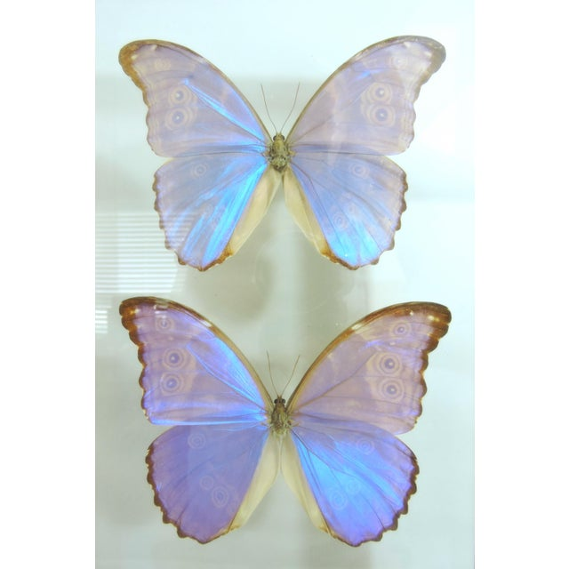 Late 20th Century Blue Morpho's & Ulysses Box Framed Butterflies Wall Panel Hangings - Set of 3 For Sale - Image 5 of 13