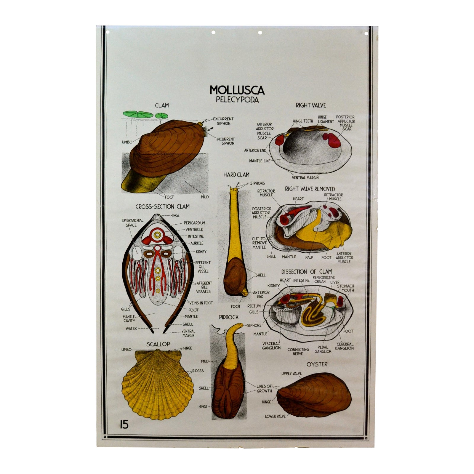 Sea Life Mollusk 1941 Anatomy Poster | Chairish