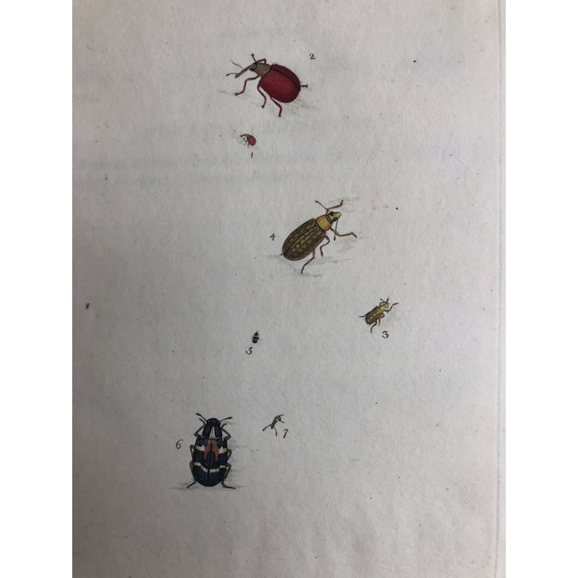 19th Century Entomology Print of Weevils For Sale