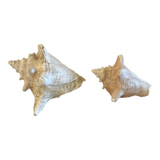 Natural Conch Shells - aPair For Sale