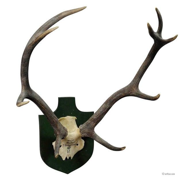 Black Forest Deer Trophy From Salem - Germany, Berstein 1957 For Sale - Image 4 of 4