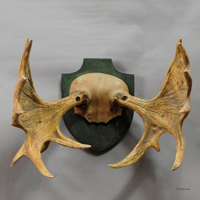 impressive moose trophy from a noble estate, Germany ca. 1930, mounted on wooden carved scull, two tips of the antlers...