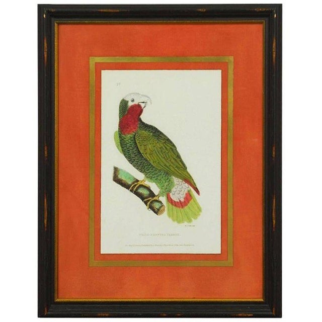 English Hand-Colored Ornithological Print of a Parrot For Sale - Image 13 of 13