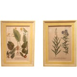 Image of Set of 12 18th Century Botanical Prints by Georg Dionysius Ehret For Sale