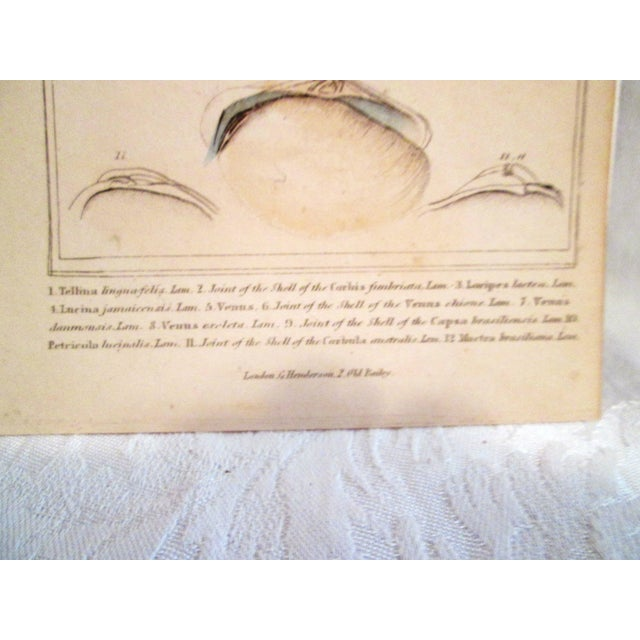 Shell Engravings, C. 1840 - Pair - Image 5 of 11