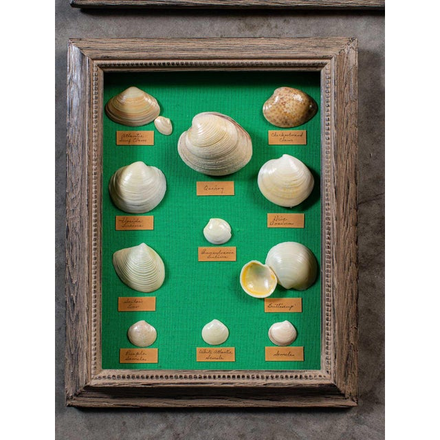 Shell 1960s Vintage French Sea Shells - Collection of 8 For Sale - Image 7 of 13
