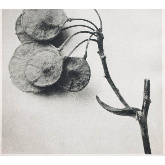 Lithograph 1935 Karl Blossfeldt Two-Sided Photogravure N46-45 For Sale - Image 7 of 9