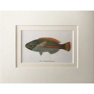 Vintage Hawaiian Fish Lithograph For Sale