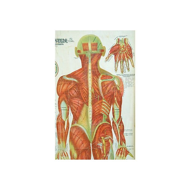 Antique Large Professionally Framed Linen Anatomy Muscular System