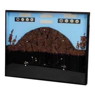 School Teaching Display Anthill Of The Horse Ant For Sale