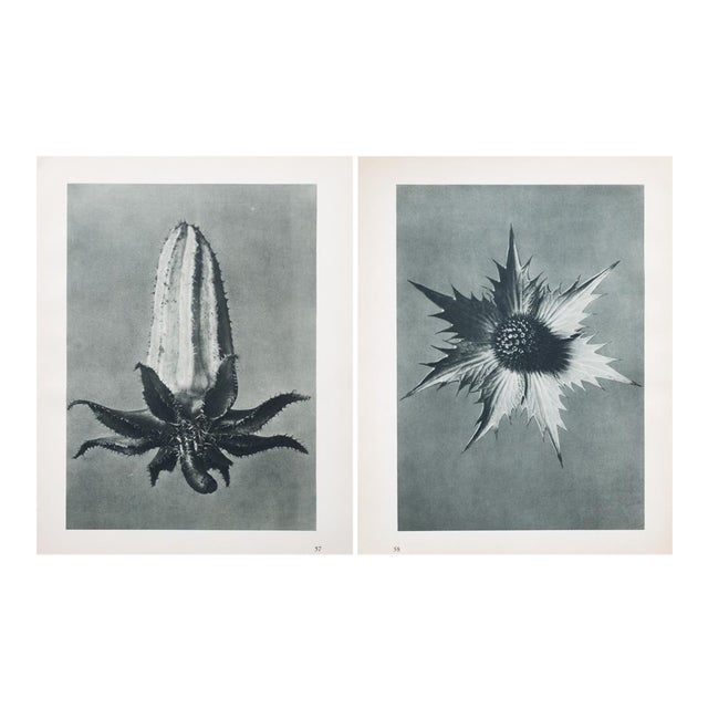 Karl Blossfeldt Double Sided Photogravure N57-58 - Image 1 of 8
