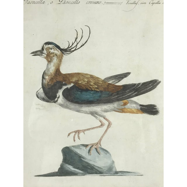 Figurative Late 18th Century Northern Lapwing Bird Print Hand Colored Engraving by Saverio Manetti For Sale - Image 3 of 5
