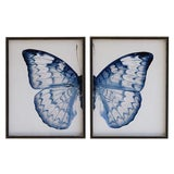 "Image of Split Blue and White Butterfly - 38"" X 25"" For Sale"