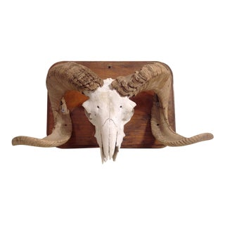 Mounted Big Horn Sheep Skull with Intact Sheathing
