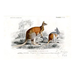 Red Kangaroo Print, French, 1849 For Sale