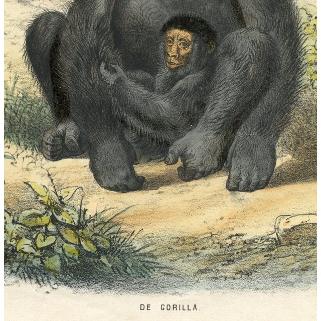 Hand-colored print of an adult gorilla (de gorilla) and child that appeared in a mid-1800s Dutch natural history series...