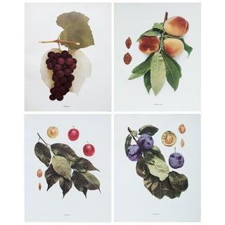 1900s Hedrick, Original Fruits Photogravures - Set of 4 For Sale