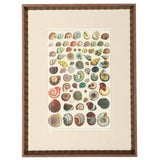 Image of Vintage Mid-Century Framed Seashell Lithograph Print For Sale