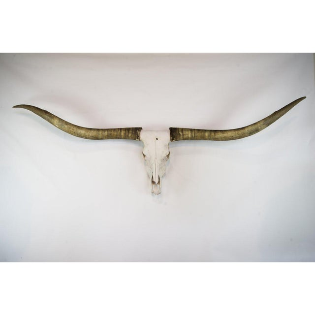 Texas Longhorn Skull Mount For Sale - Image 11 of 11