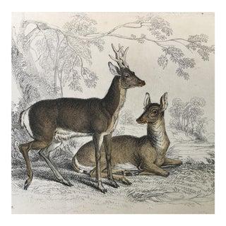 19th Century Jardine Common Roebuck Deer Engraving