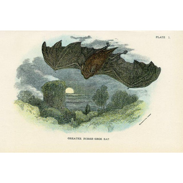Original lithograph published in 1896 featuring the Horse-shoe Bat. From a guide to British Mammals by Richard Lydekker...