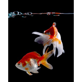 """""""Two Goldfish"""" Contemporary Photograph by John Manno (20""""x25"""") For Sale"""