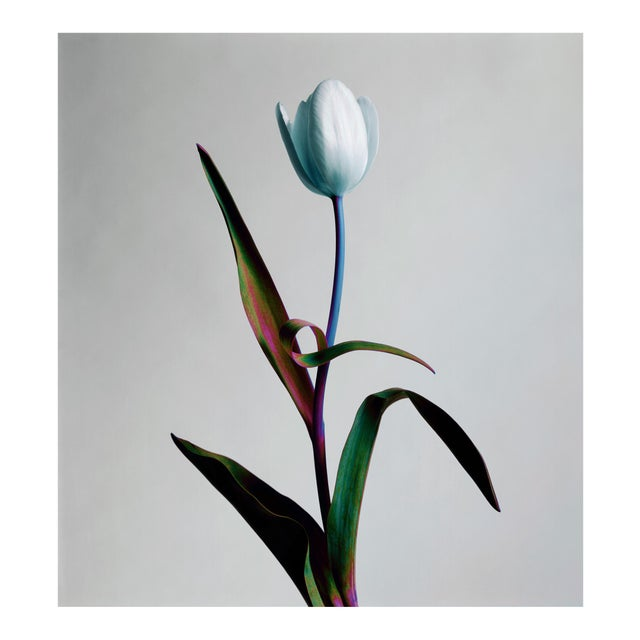 A Single Tulip - Photograph by Guy Sargent For Sale