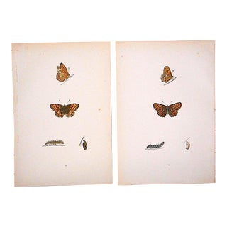 Antique Butterfly Lithographs-Hand Colored-Mid 19th Century For Sale