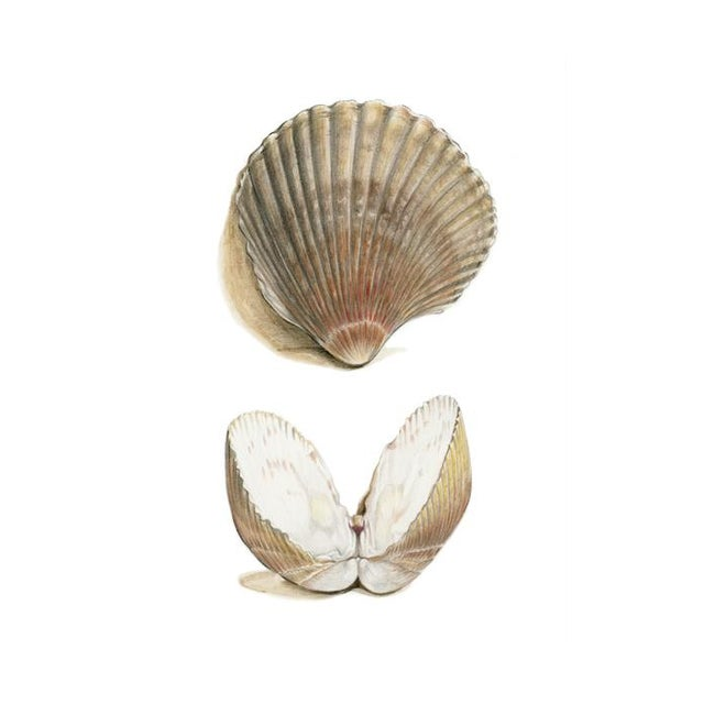 """2010s Contemporary Natural History Drawing, """"Sea Shells"""" For Sale - Image 5 of 5"""