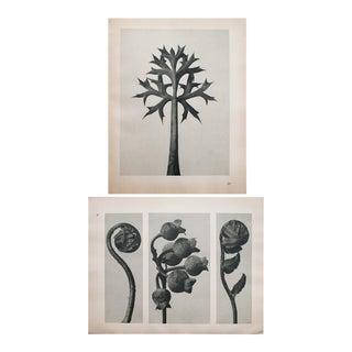 Karl Blossfeldt Double Sided Photogravure N29-30