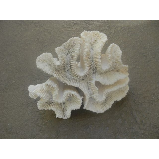 White Coral Specimen - Image 3 of 3
