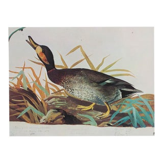 1966 Audubon Print of Bimaculated Duck