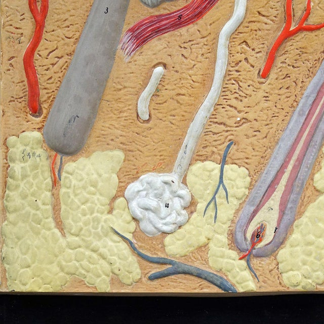 Antique Teaching Aid Human Skin Model On Wooden Plate For Sale - Image 4 of 6